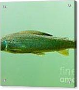 Arctic Grayling - Thymallus Arcticus - Underwater Acrylic Print