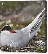 Arctic Tern In Its Nest Acrylic Print