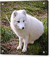 Arctic White Fox Acrylic Print