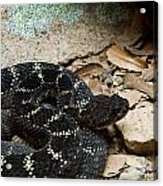 Arizona Black Rattlesnake Acrylic Print