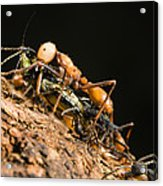 Army Ant Carrying Cricket La Selva Acrylic Print