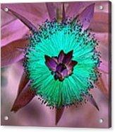 Artistic Bottle Brush Flower Acrylic Print