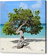 Aruba Divi Divi Tree Acrylic Print