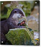 Asian Small Clawed Otter Acrylic Print