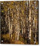 Aspen Forest In Fall Acrylic Print