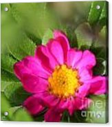Aster From The Daylight Mix Acrylic Print