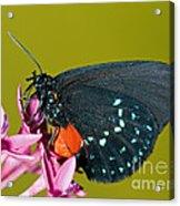 Atala Butterfly Acrylic Print