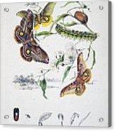 Australian Butterflies Acrylic Print