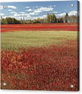 Autumn Blueberry Field Maine Acrylic Print
