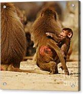 Baboon Family In The Desert Acrylic Print