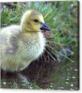 Baby Canada Goose Acrylic Print