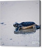 Baby Green Sea Turtle Amelia Island Florida Acrylic Print