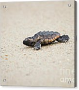 Baby Loggerhead Sea Turtle Amelia Island Florida Acrylic Print