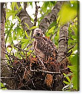 Baby Red Shouldered Hawk Acrylic Print