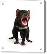 Baby Tasmanian Devil Acrylic Print by Science Photo Library
