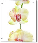 Backlit Orchids Against White Background Acrylic Print