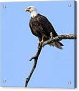 Bald Eagle 6 Acrylic Print