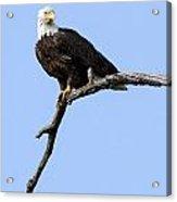 Bald Eagle 7 Acrylic Print