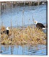 Bald Eagle Pair Acrylic Print