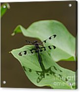 Banded Pennant Dragonfly Acrylic Print