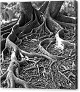 Banyan Roots - 24 X 36 Acrylic Print
