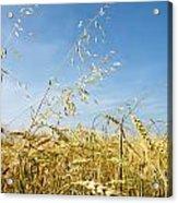 Barley And Oat Vertical Acrylic Print