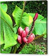 Barriles Banana Acrylic Print