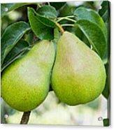 Bartlett Pears  Acrylic Print
