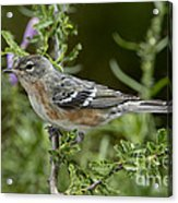 Bay-breasted Warbler Acrylic Print