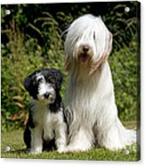 Bearded Collie And Puppy Acrylic Print