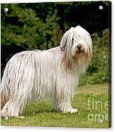 Bearded Collie Dog Acrylic Print