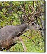 Beautiful Mule Deer Buck With Velvet Antler  Acrylic Print