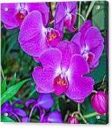 Beautiful Purple Orchid - Phalaenopsis Acrylic Print