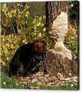 Beaver   Castor Canadensis Acrylic Print