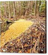 Beaver Dam In Fall Colored Forest Wetland Swamp Acrylic Print