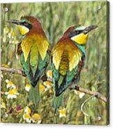 Bee-eaters Acrylic Print
