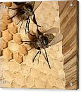 Bee Hive Acrylic Print