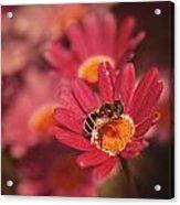 Bee On A Pink Daisy Acrylic Print