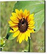 Bee Sunflower Acrylic Print