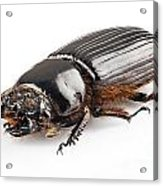 Beetle Aceraius Grandis Acrylic Print