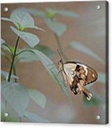 Beige On Beige Butterfly Acrylic Print