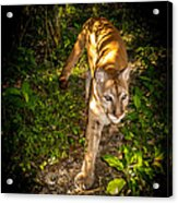 Belize Mountain Lion Acrylic Print