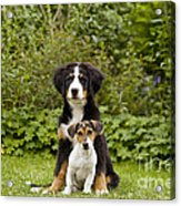 Bernese Mountain & Jack Russell Puppies Acrylic Print