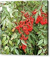 Berry Bush Acrylic Print