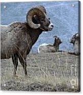 Big Horn Sheep 2 Acrylic Print