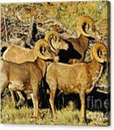 Big Horn Sheep Acrylic Print