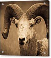 Big Horned Ram Acrylic Print