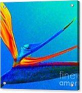 Bird Of Paradise With Blue Background Acrylic Print