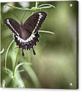 Black And White Butterfly V3 Acrylic Print