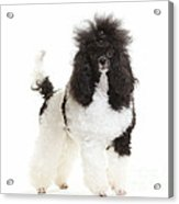 Black And White Poodle Acrylic Print
